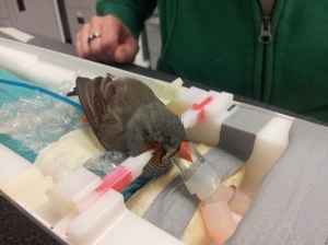 Zebra Finch Preparing for Image Session